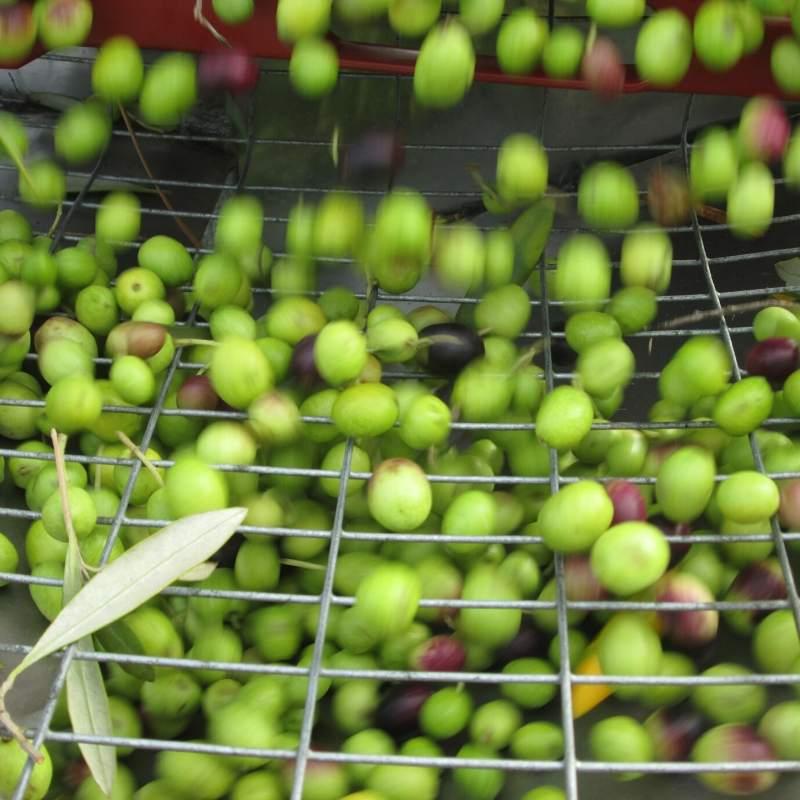 de-leafing olives