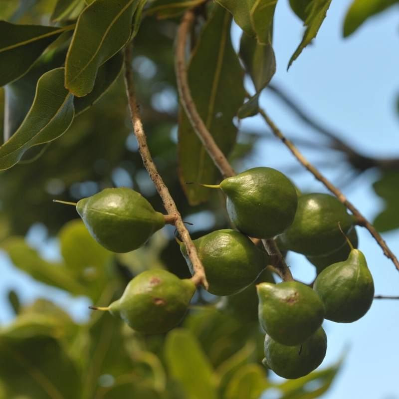 Macadamia Nuts hanging from the tree