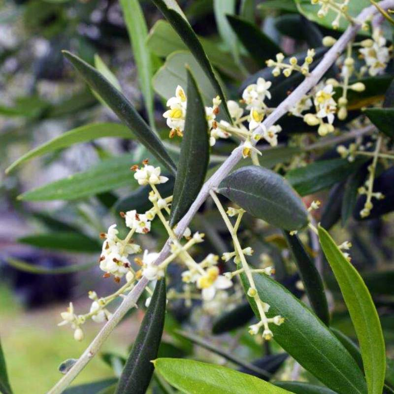 flowers on an olive tree