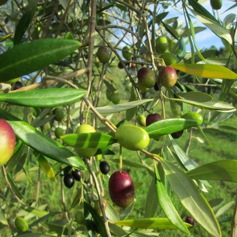 J5 olives on the tree